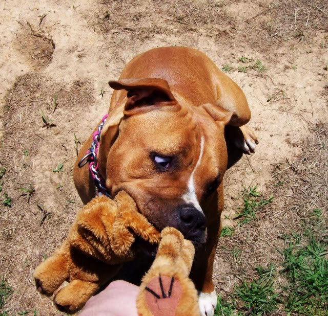 Mya the Pit Bull Playing With Toy