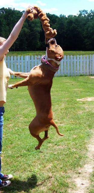 Mya the Pit Bull Jumping