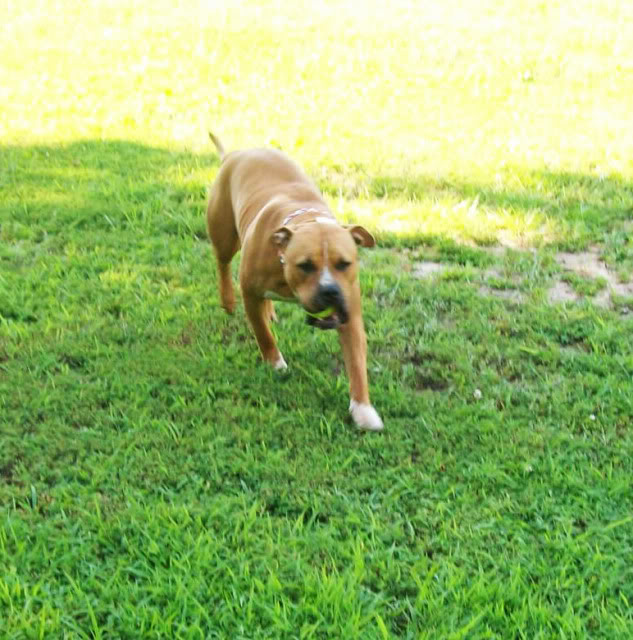 Mya the Pit Bull Running Some More