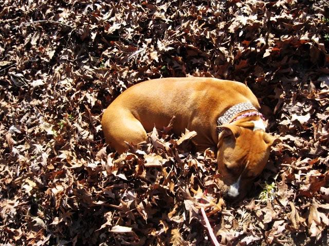 Mya the Pit Bull Sleeping in Leaves