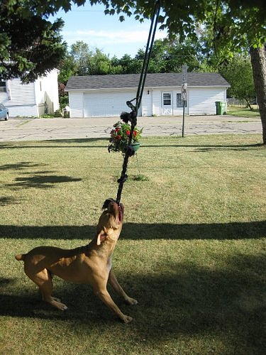 Pit Bull Spring Pole